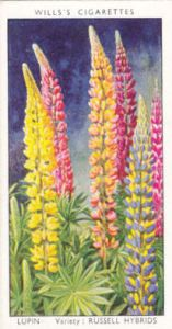 1939-willss-garden-flowers-lupin